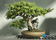 O bonsai