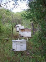 A apicultura migratória, sem dúvida, se tornou a técnica de manejo que pode determinar um avanço da atividade apícola no Brasil.