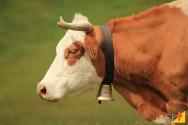 Informe-se sobre o inchaço em pescoço de vacas