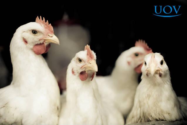 Saiba mais sobre manejo de frango de corte