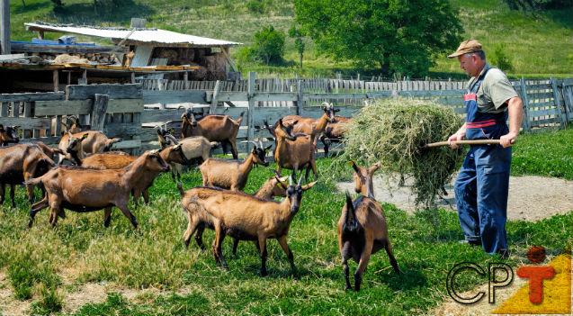 Criação de cabras leiteiras: como deve ser o capril   Artigos Cursos CPT