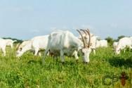 Pastagens para caprinos: altura e densidade da gramínea