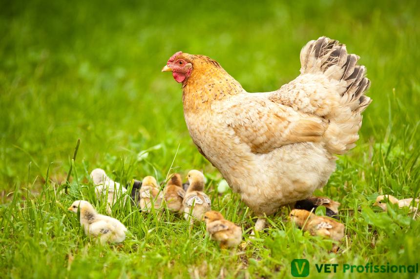 Confira o novo Curso do VetProfissional Aves Domésticas - Produção e Principais Doenças