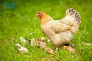 Confira o novo Curso Online UOV Aves Domésticas - Produção e Principais Doenças