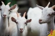 Criação de cabras leiteiras: negócio promissor e rentável