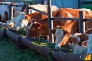 Como devo preparar ração para o gado?