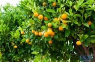 Tire suas dúvidas sobre laranjeiras