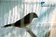 Saiba mais sobre o curió (Oryzoborus angolensis)