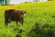 Mais plantas tóxicas para criações de bovinos