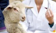 Papilomitose em ovinos: como combater?