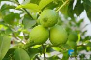 Plantação em consórcio: limão-taiti e coqueiro