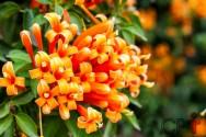 Floral Filhas de Gaia: indicações do Cipó-de-São-João