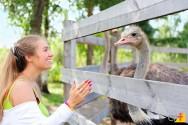 Como devo iniciar uma criação de avestruzes?