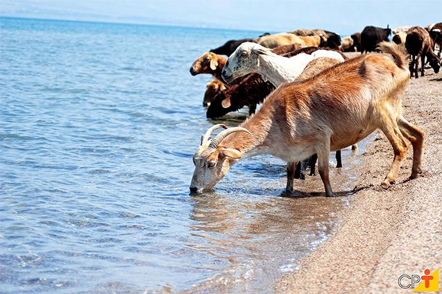 Cabras bebendo água