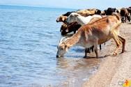 A importância da água para as cabras