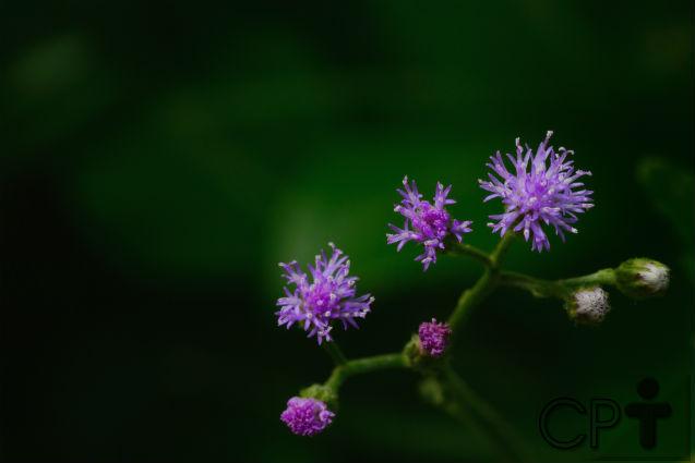 Florais da Amazônia: Boldo Amazônico   Dicas Cursos CPT