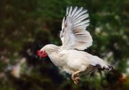 Cercas elétricas para a contenção de galinhas? Isso é possível?
