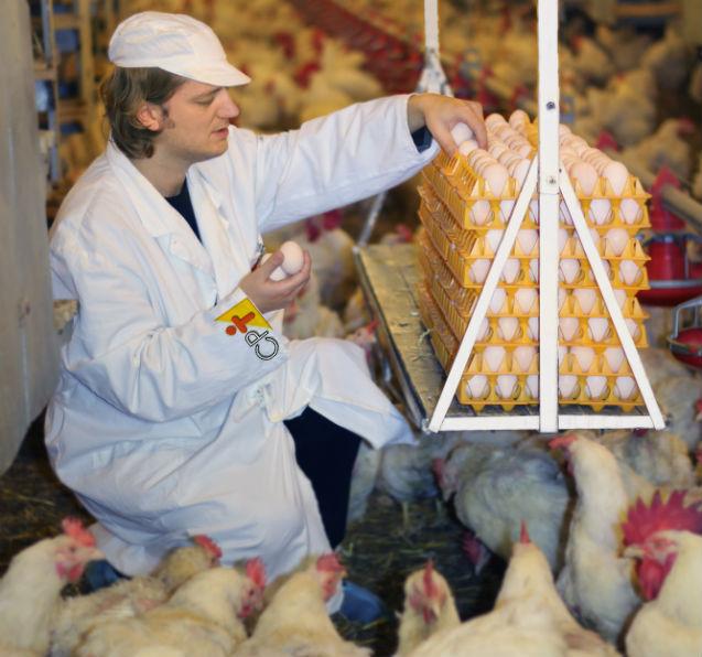 Com que idade as galinhas começam a botar?   Artigos Cursos CPT