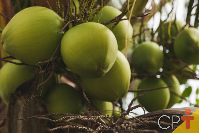 Controle do ácaro-da-mancha-anelar-do-coqueiro