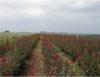 Rosas são as flores de maior popularidade e comercialização