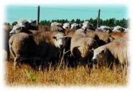 A rusticidade dos ovinos permite que eles ocupem áreas normalmente marginais na propriedade rural.