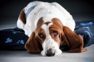 O que é a torção gástrica em cães?