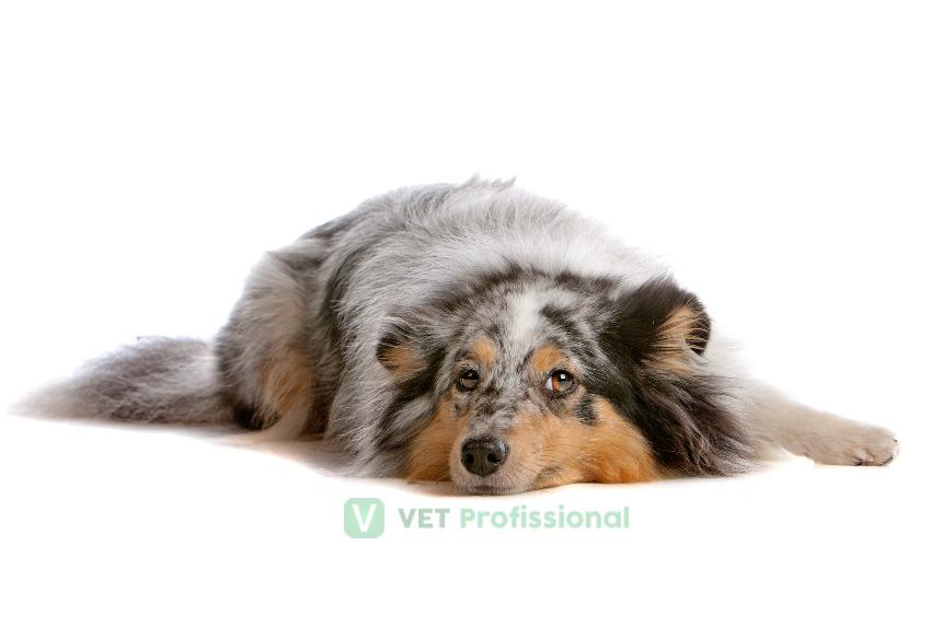 O que é torção gástrica em cães?   VetProfissional