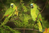 Papagaio-verdadeiro: dicas de criação