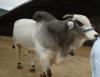 Exportação de bovinos vivos agrega valor à comercialização do animal