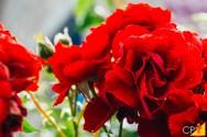 Conheça espécies de flores perfumadas para você ter em casa