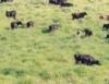 Pastoreio voisin na viabilização da pecuária leiteira tropical