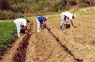 https://cptstatic.s3.amazonaws.com/imagens/enviadas/materias/materia1734/m-cultivo-organico-inhame-taro-gengibre.jpg