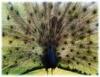 Criação de pavões, aves que encantam pela rara beleza