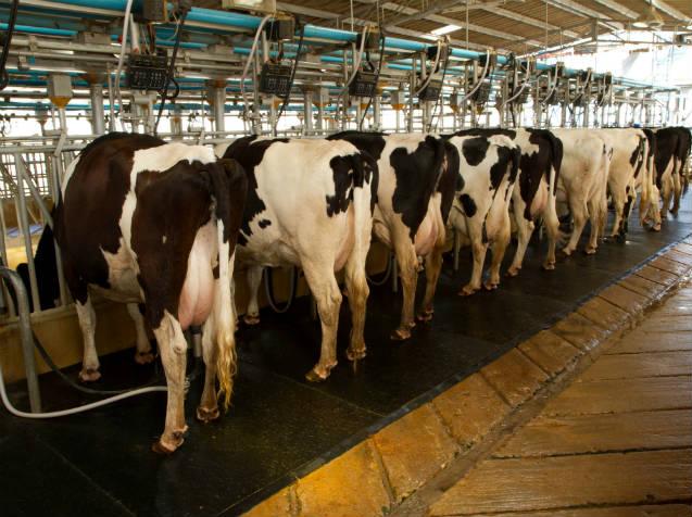Produção de leite aumenta com música eletrônica