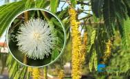 Conheça o Angico, árvore que possui propriedades medicinais
