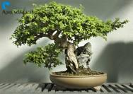Aprenda Fácil a regar o seu bonsai!