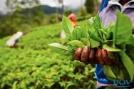 Conheça algumas plantas medicinais ideais para fazer chás