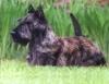 Dicas de tosa para as raças Scottish Terrier,  Yorshire e  Fox Terrier