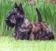 No caso do Scottish Terrier, deixa-se um chumaço de pelos nos cantos internos frontais das orelhas.
