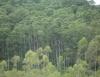 Eucalipto cresce rapidamente e se adapta a todas as regiões do país