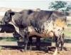 Híbridos apresentam desempenho superior para produção de leite a pasto