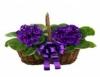 Cultivo de violetas agrada aos produtores, floricultores e amantes das flores
