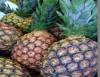 Cultivo de abacaxi rende frutos para consumo in natura ou  industrialização