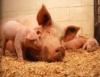 Criação de suínos no sistema de camas sobrepostas é alternativa agroecológica