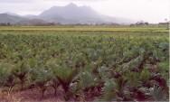 https://cptstatic.s3.amazonaws.com/imagens/enviadas/materias/materia1890/m-cultivo-palmera-real.jpg
