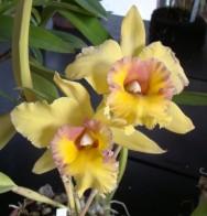 https://cptstatic.s3.amazonaws.com/imagens/enviadas/materias/materia1910/m-orquidea-amarela.jpg