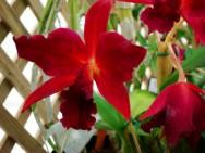 https://cptstatic.s3.amazonaws.com/imagens/enviadas/materias/materia1910/m-orquidea-vermelha.jpg