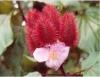 Urucum é planta que produz corante natural