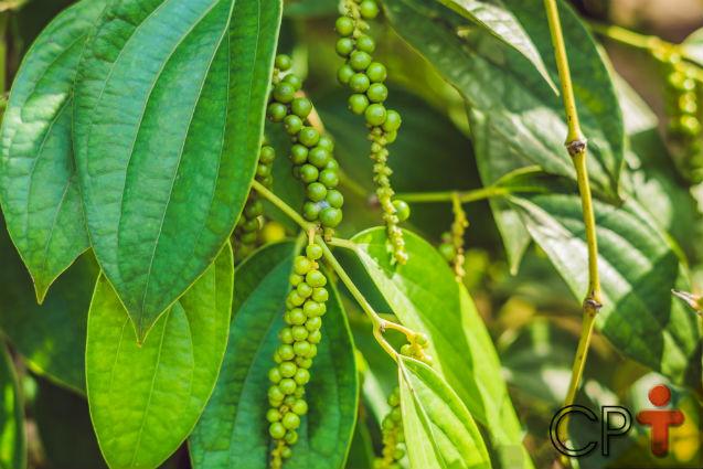 5 dicas para ter sucesso com a plantação de pimenta-do-reino   Artigos Cursos CPT