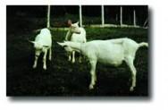 O leite de cabra orgânica